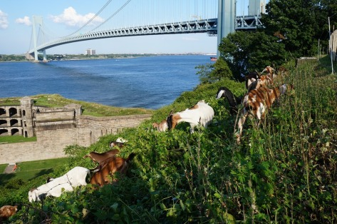 Someone please tell these goats not to jump...