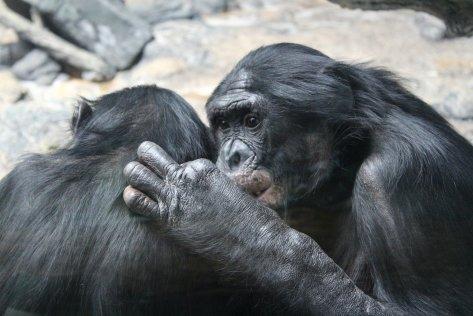 bonobo-4917396_1920